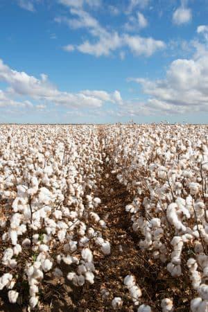 champ de coton biologique